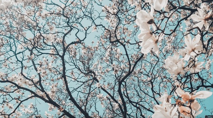 Photo of white blossoms on a tree with blue sky background